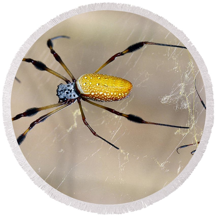 Animal Round Beach Towel featuring the photograph Male And Female Golden Silk Spiders by Millard H. Sharp