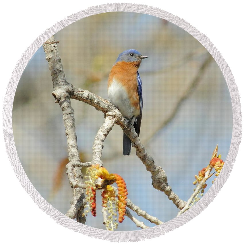 Animal Round Beach Towel featuring the photograph Male Bluebird In Budding Tree by Robert Frederick