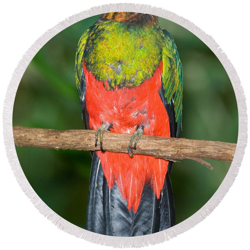Fauna Round Beach Towel featuring the photograph Male Golden-headed Quetzal by Anthony Mercieca