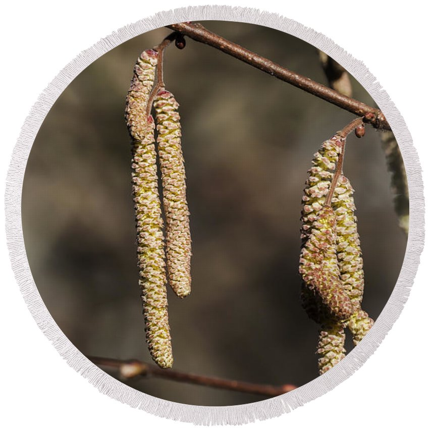 Male Hazel Catkins Round Beach Towel featuring the photograph Male Hazel Catkins by Steve Purnell
