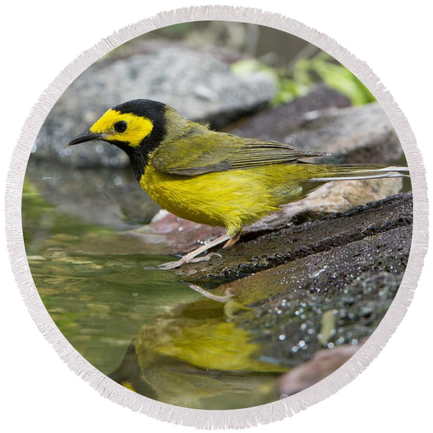 Hooded Warbler Round Beach Towel featuring the photograph Male Hooded Warbler by Anthony Mercieca
