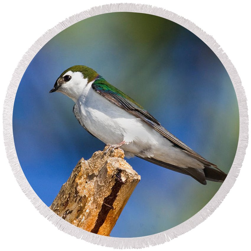 Animal Round Beach Towel featuring the photograph Male Violet-green Swallow by Anthony Mercieca