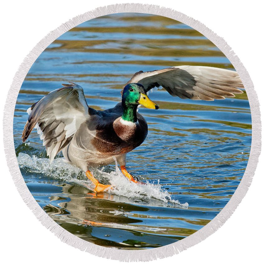 Mallard Duck Round Beach Towel featuring the photograph Mallard Drake Skiing To A Stop by Anthony Mercieca