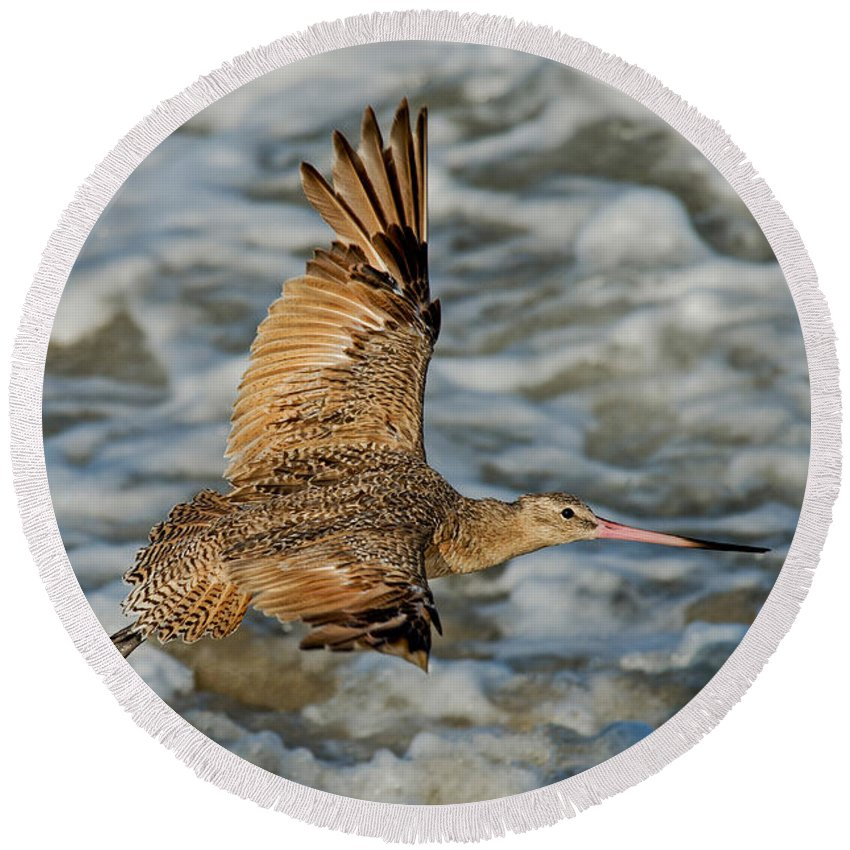 Marbled Godwit Round Beach Towel featuring the photograph Marbled Godwit Flying Over Surf by Anthony Mercieca