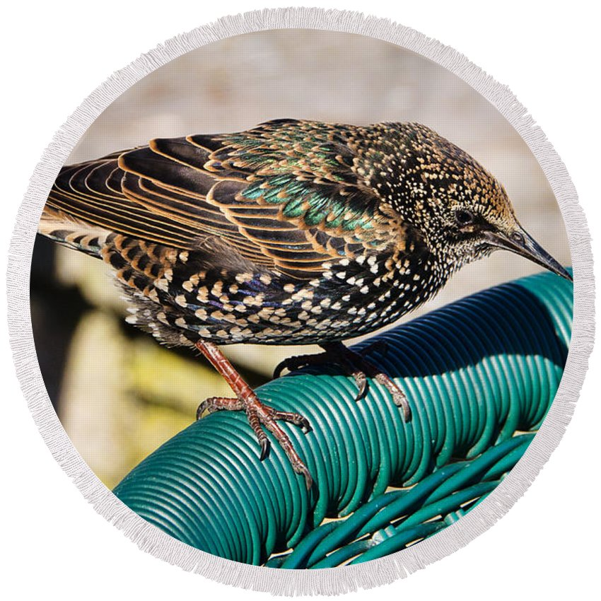 Starling Round Beach Towel featuring the photograph Matching Colours by Susie Peek