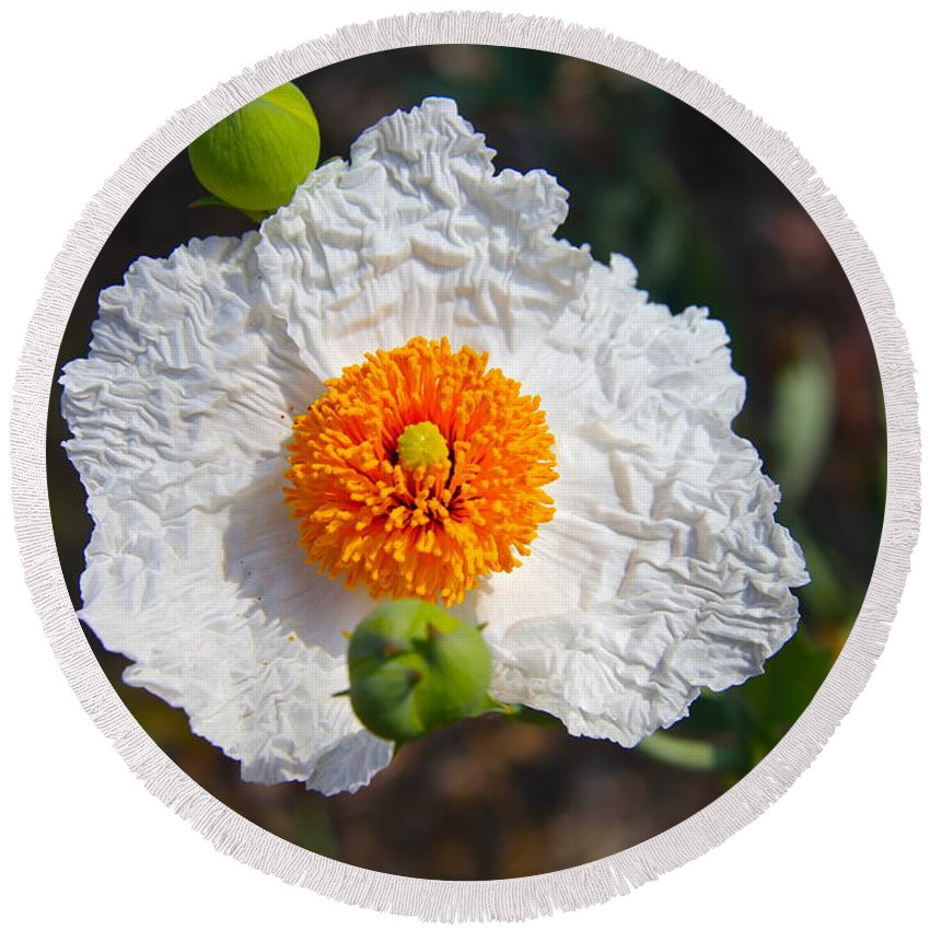 Flower Round Beach Towel featuring the photograph Matilija Poppy Buds And Bloom by Denise Mazzocco