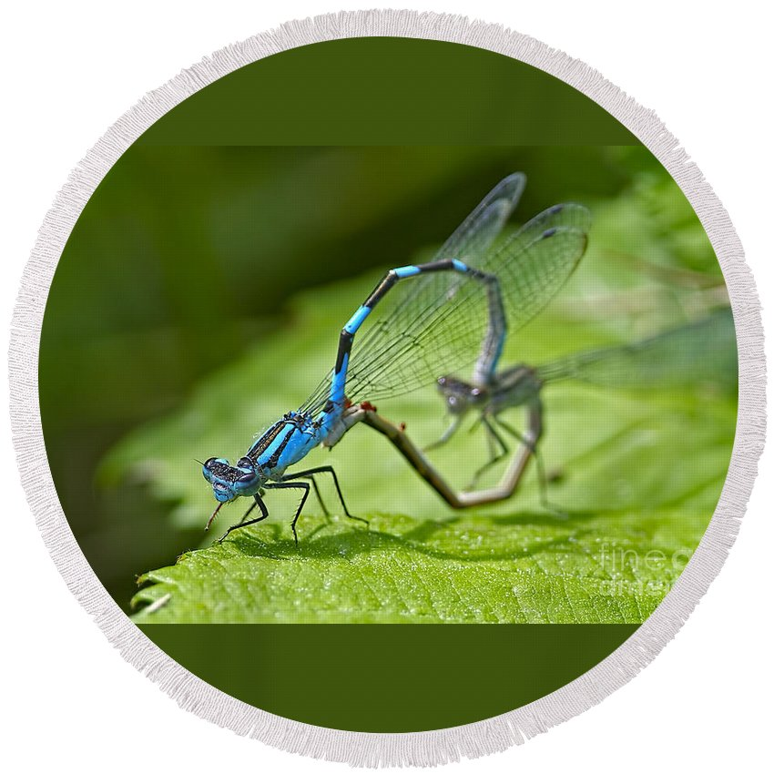 Damselflies Round Beach Towel featuring the photograph Mating Damselflies by Sharon Talson