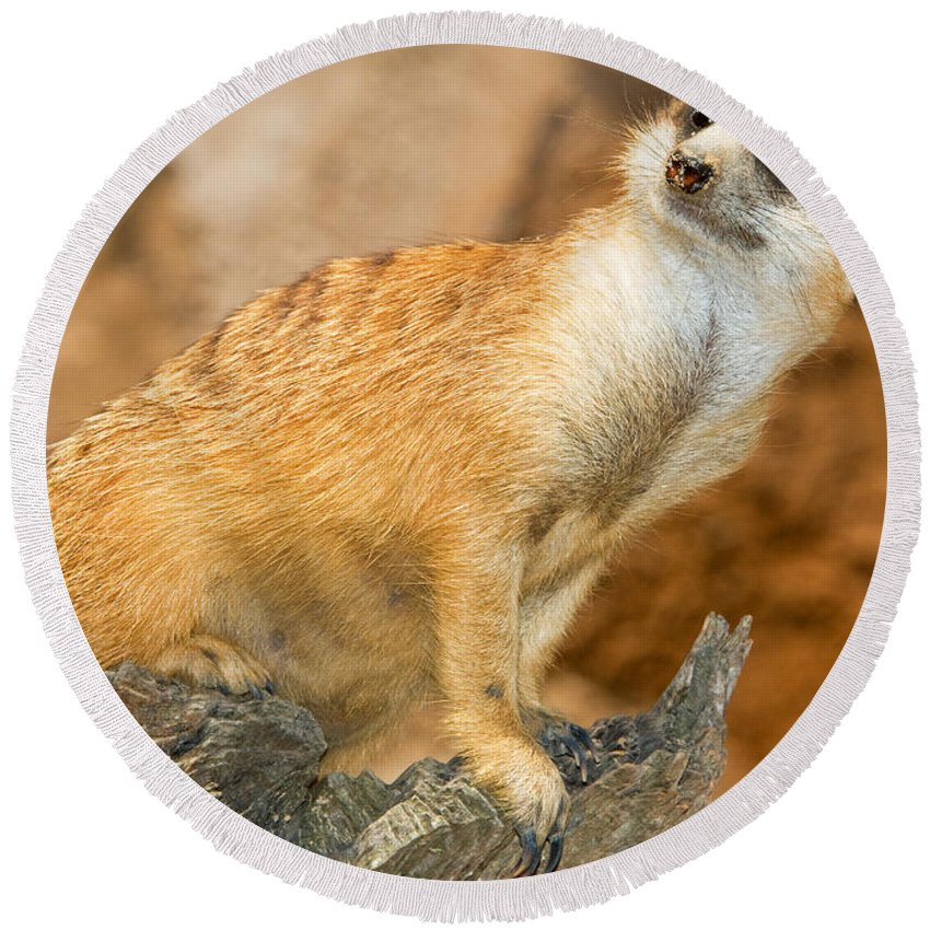 Nature Round Beach Towel featuring the photograph Meerkat by Millard H. Sharp