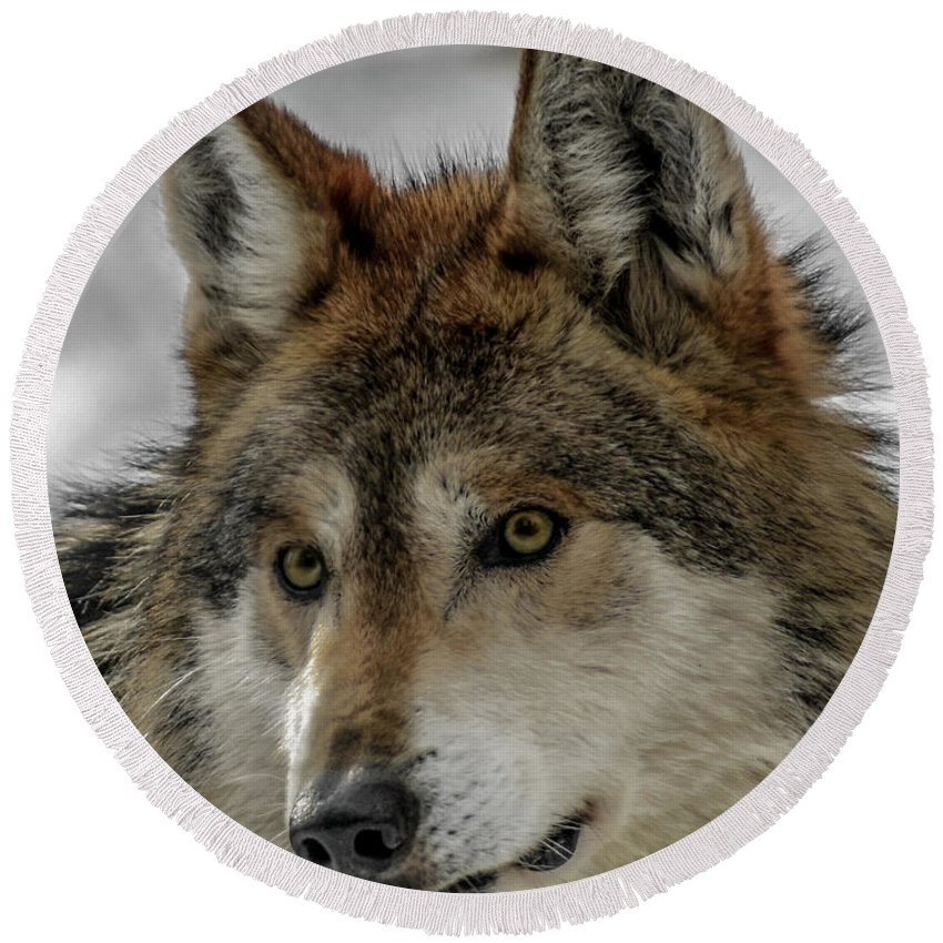 Wolf Round Beach Towel featuring the photograph Mexican Grey Wolf Upclose by Ernie Echols