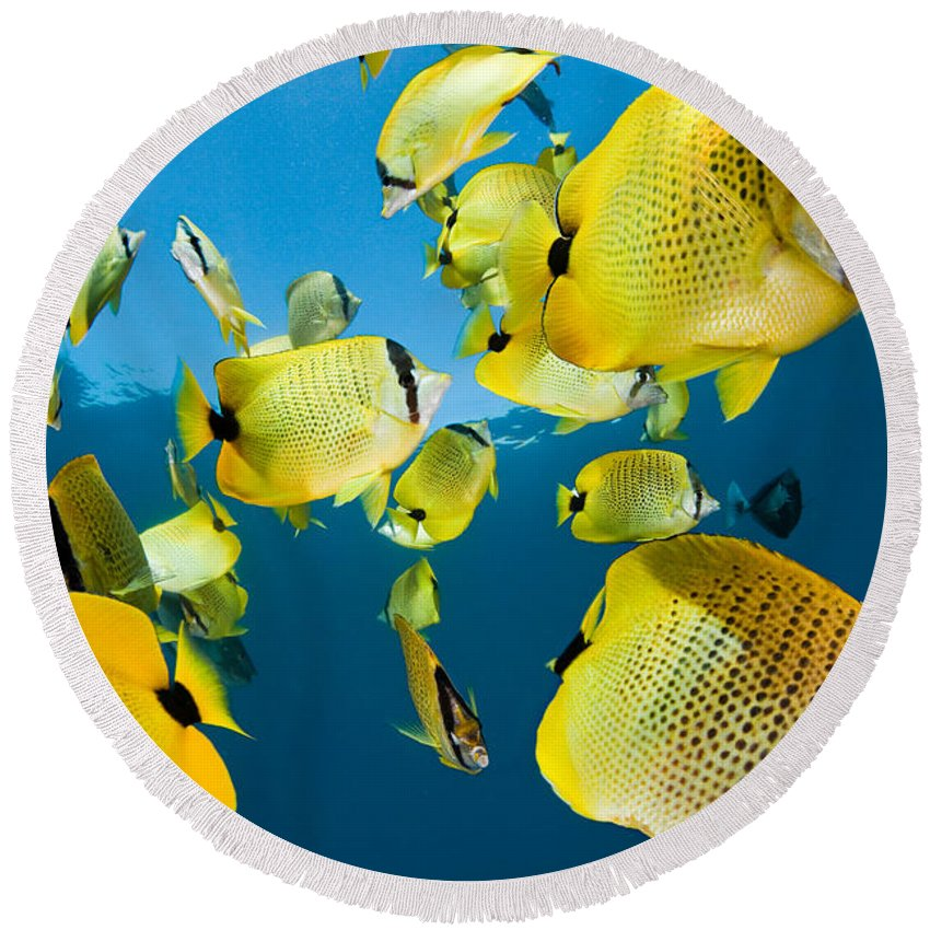 Millet Butterflyfish Round Beach Towel featuring the photograph Millet Butterflyfish by David Fleetham