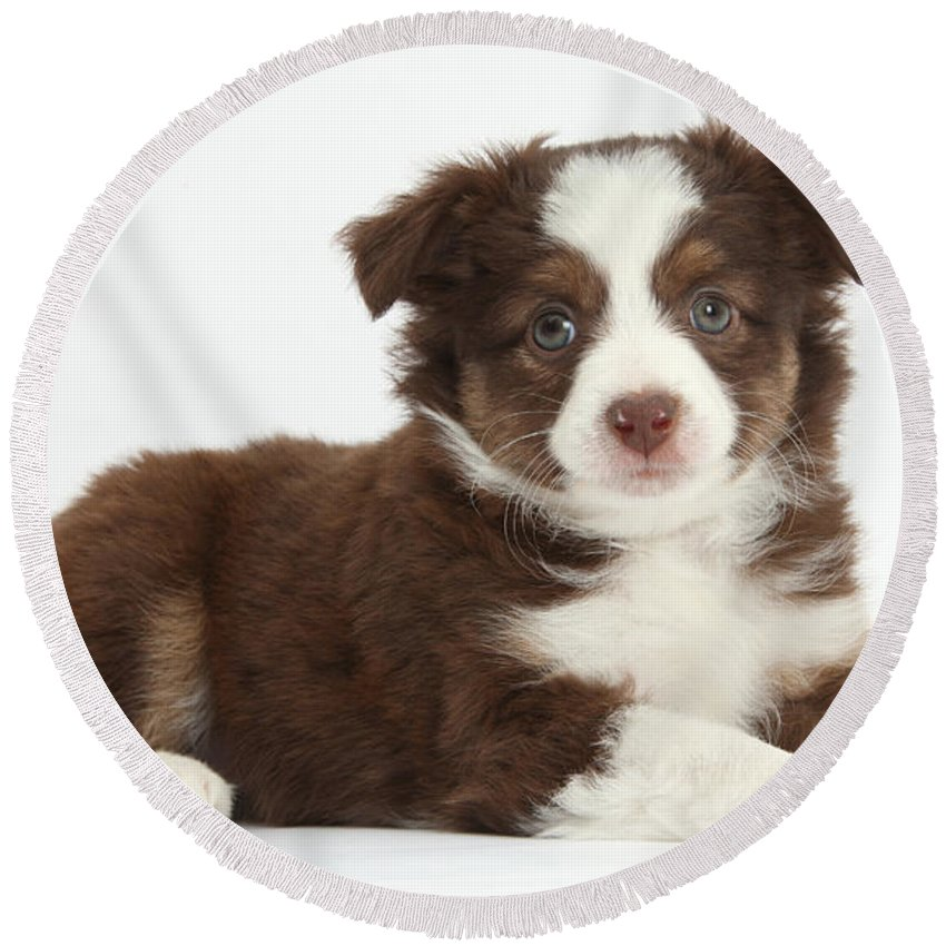Nature Round Beach Towel featuring the photograph Miniature American Shepherd Puppies by Mark Taylor