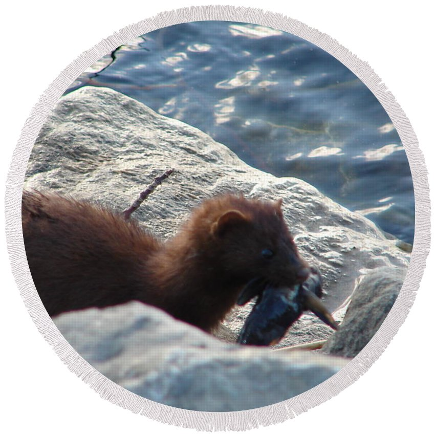 American Mink Round Beach Towel featuring the photograph Mink with a Round Goby by Randy J Heath