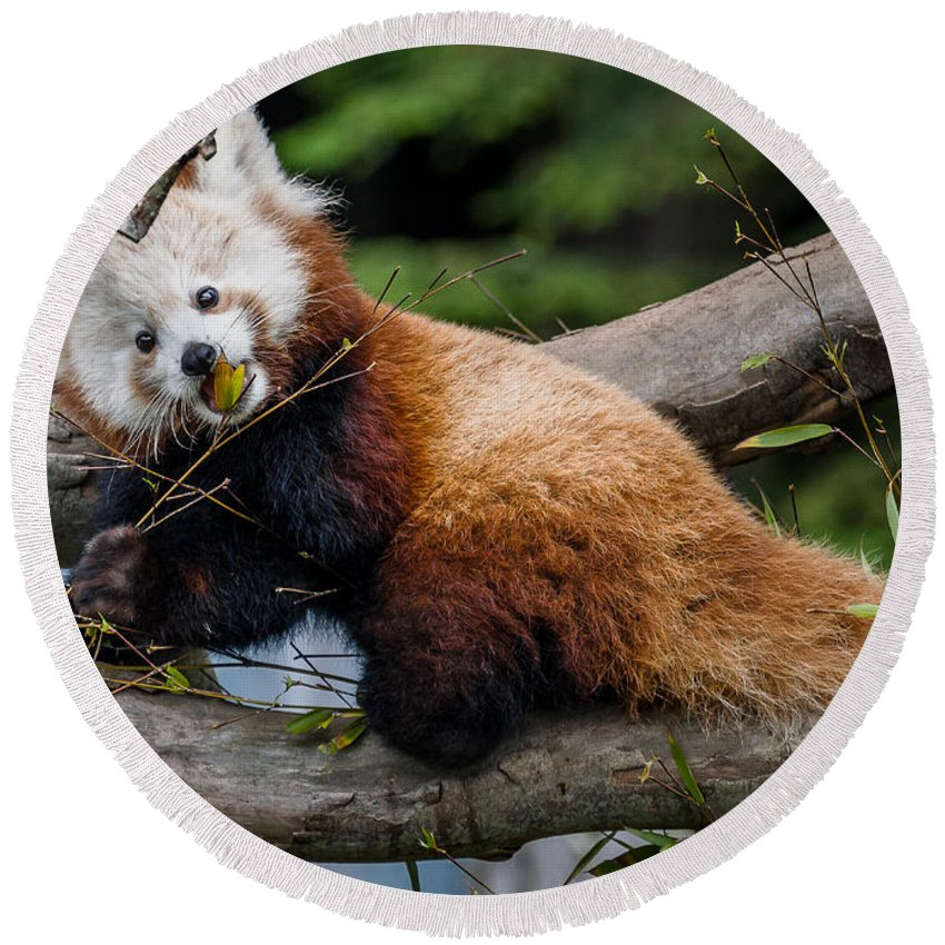 Mammal Round Beach Towel featuring the photograph Mohu Eats Bamboo by Greg Nyquist