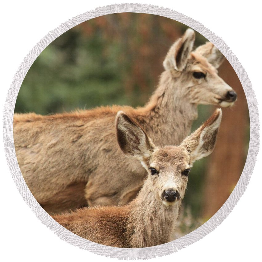 Rocky Mountain National Park Round Beach Towel featuring the photograph Mom And Junior by Adam Jewell