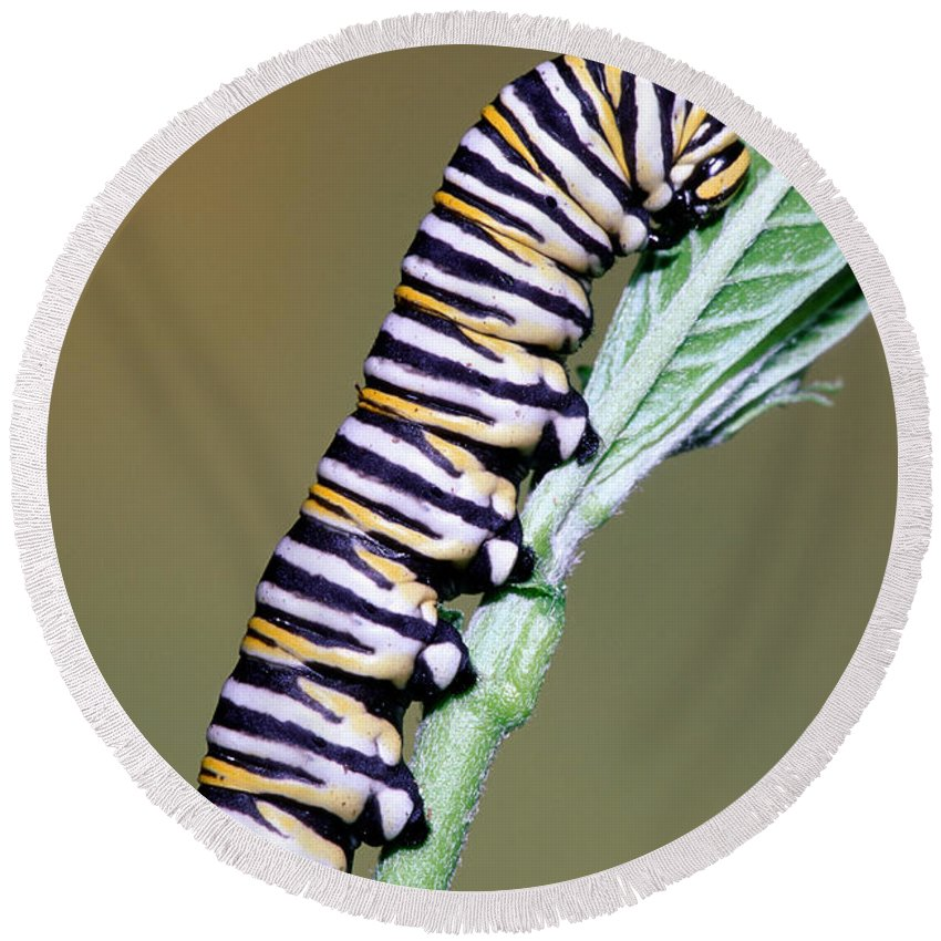 Animal Round Beach Towel featuring the photograph Monarch Butterfly Caterpillar by Millard H. Sharp