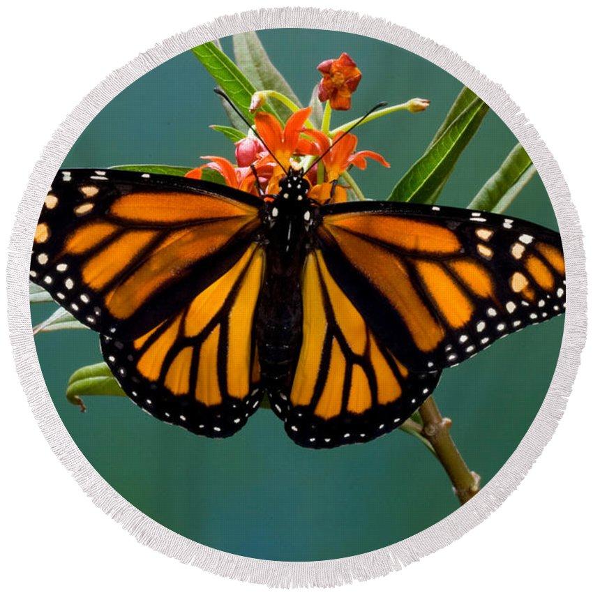 Animal Round Beach Towel featuring the photograph Monarch Butterfly Danaus Plexippus by Anthony Mercieca