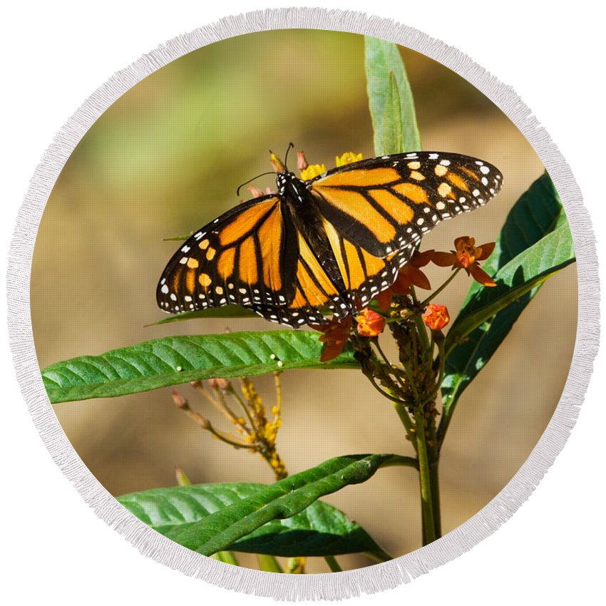 Fauna Round Beach Towel featuring the photograph Monarch Butterfly On Plant With Eggs by Anthony Mercieca
