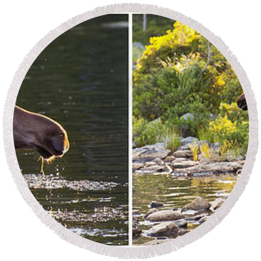 Maine Round Beach Towel featuring the photograph Moose And Baby 5 by Glenn Gordon