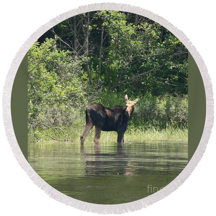 Moose Round Beach Towel featuring the photograph New Hampshire Grazing Cow Moose by Neal Eslinger