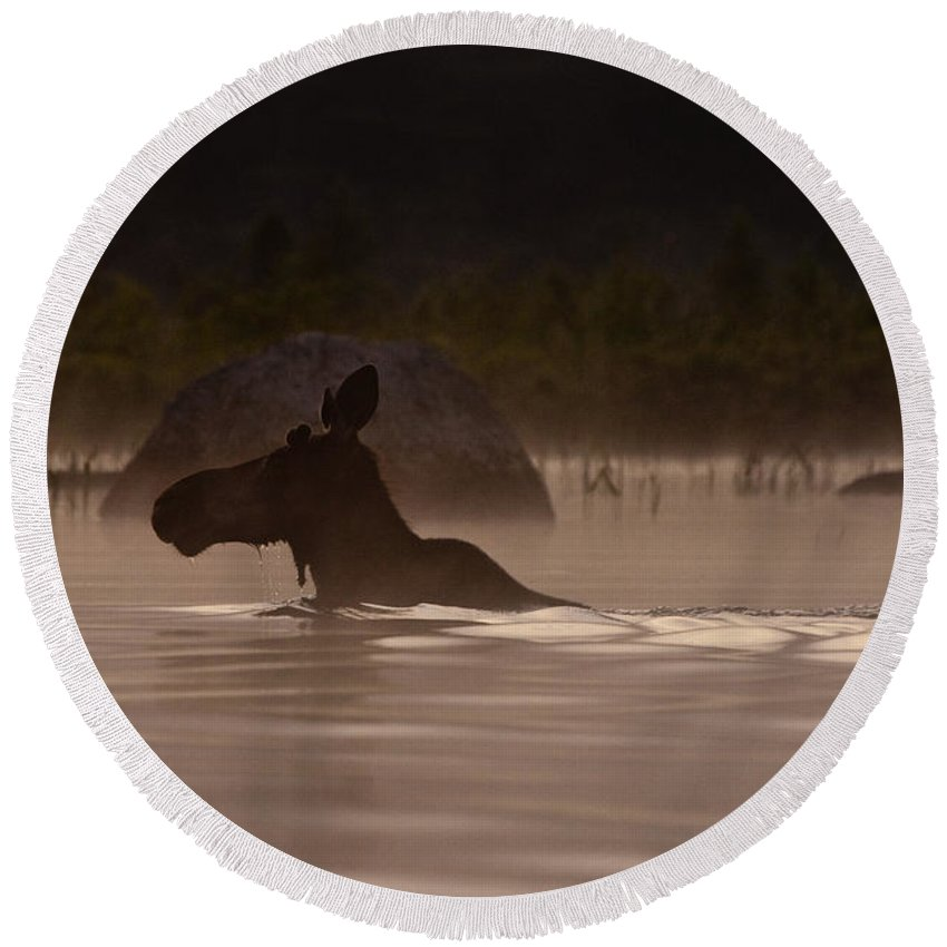 Moose Round Beach Towel featuring the photograph Moose Swim by Brent L Ander