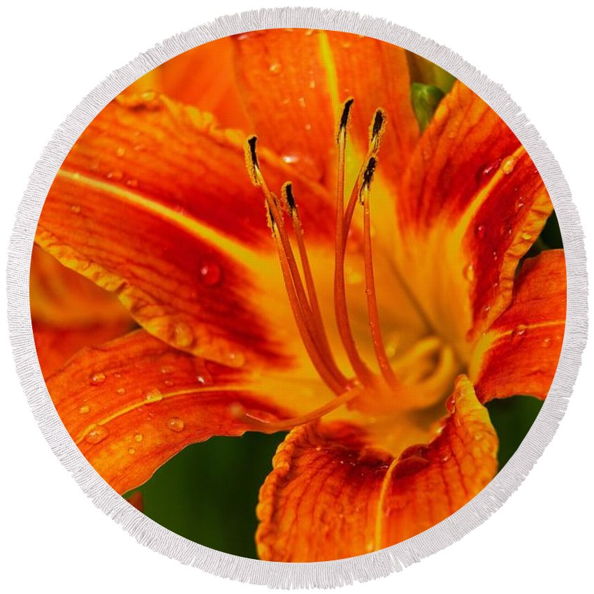 Day Lily Round Beach Towel featuring the photograph Morning Dew by Dave Files