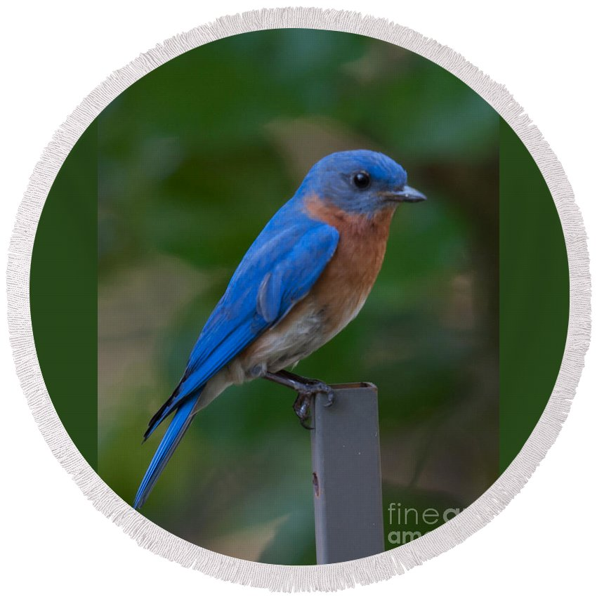 Eastern Blue Bird Round Beach Towel featuring the photograph Morning Perch by Dale Powell