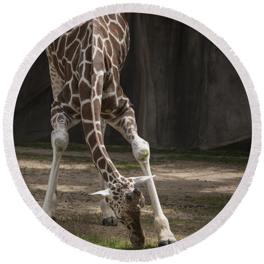 Giraffe Round Beach Towel featuring the photograph Morning Stretch by Jayne Gohr