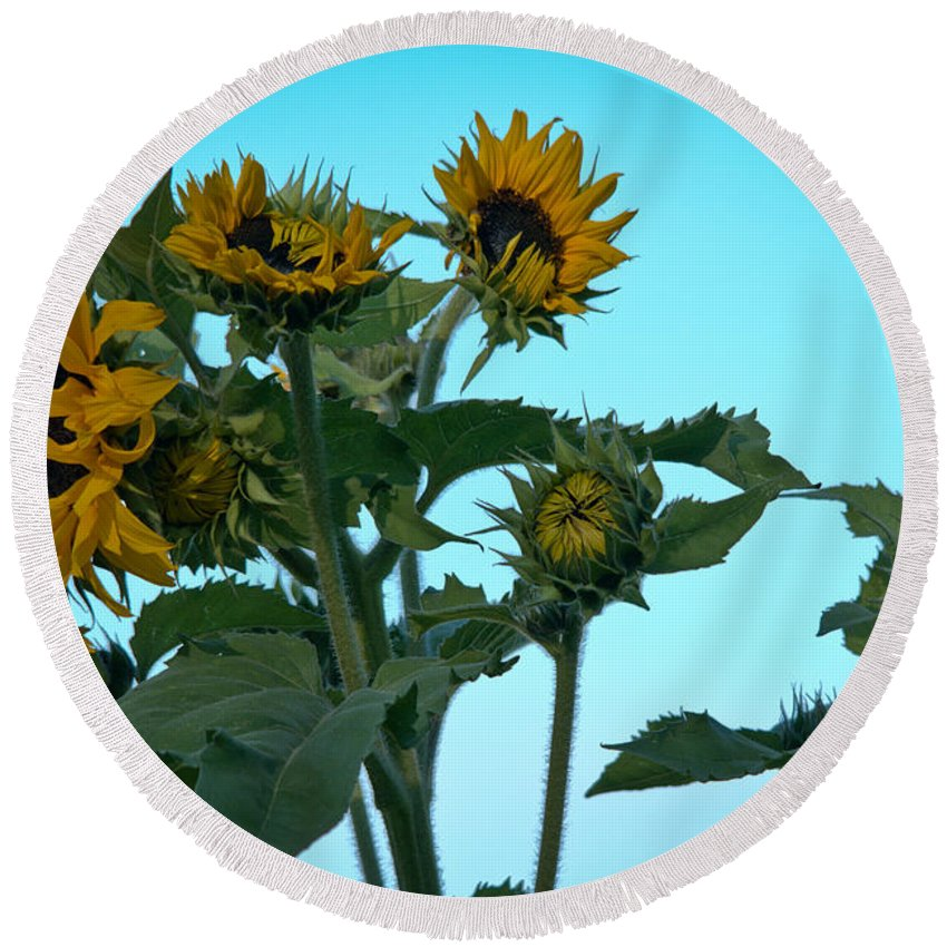 Sunflower Round Beach Towel featuring the photograph Morning Sunflowers by Cheryl Baxter