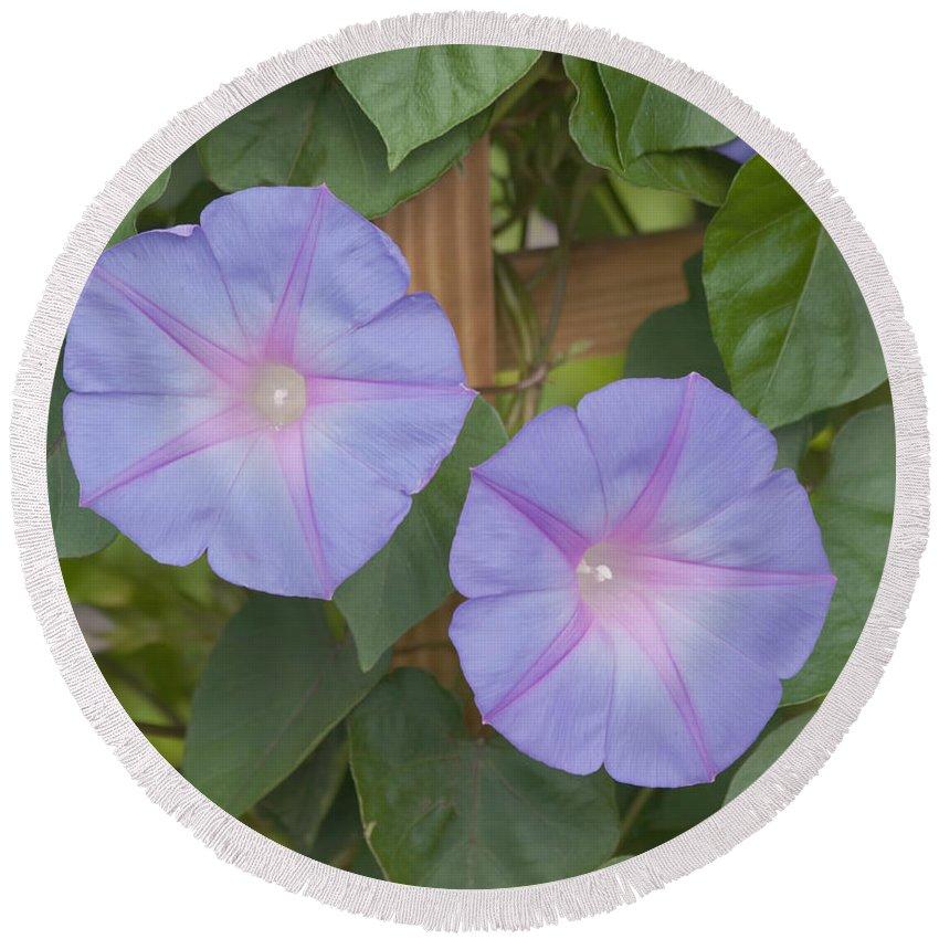 Purple Flower Round Beach Towel featuring the photograph Morning's Glory by Kim Hojnacki