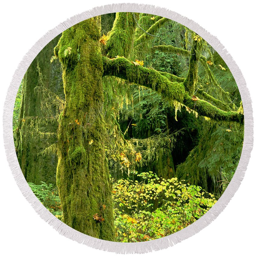 Big Leaf Maple Round Beach Towel featuring the photograph Moss Draped Big Leaf Maple California by Dave Welling