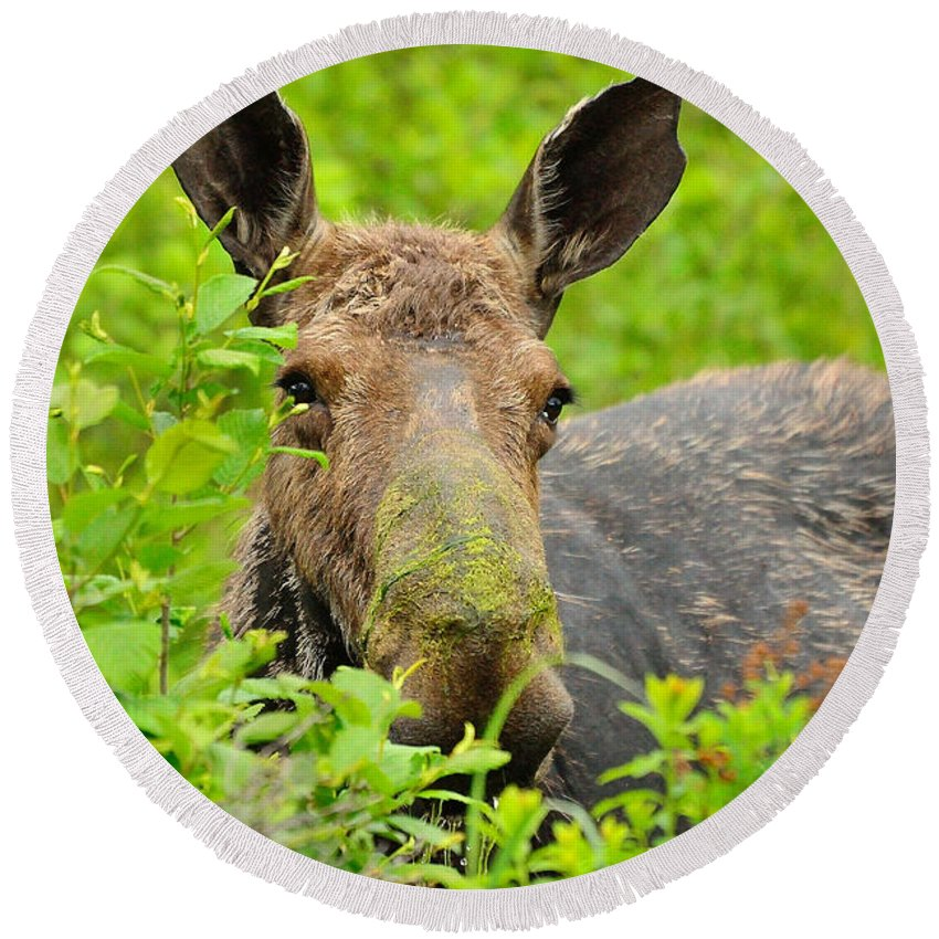 Alces Alces Round Beach Towel featuring the photograph Mossy Moose by Joshua McCullough