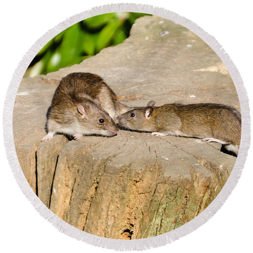 Animal Round Beach Towel featuring the photograph Mother Rat With Youngster by David Head