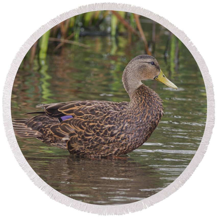 Mottled Duck Round Beach Towel featuring the photograph Mottled Duck Drake by Anthony Mercieca