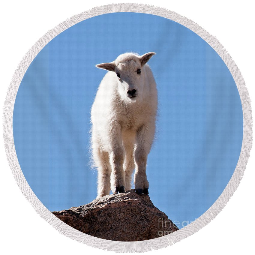 Arapaho National Forest Round Beach Towel featuring the photograph Mountain Goat Kid On Mount Evans by Fred Stearns