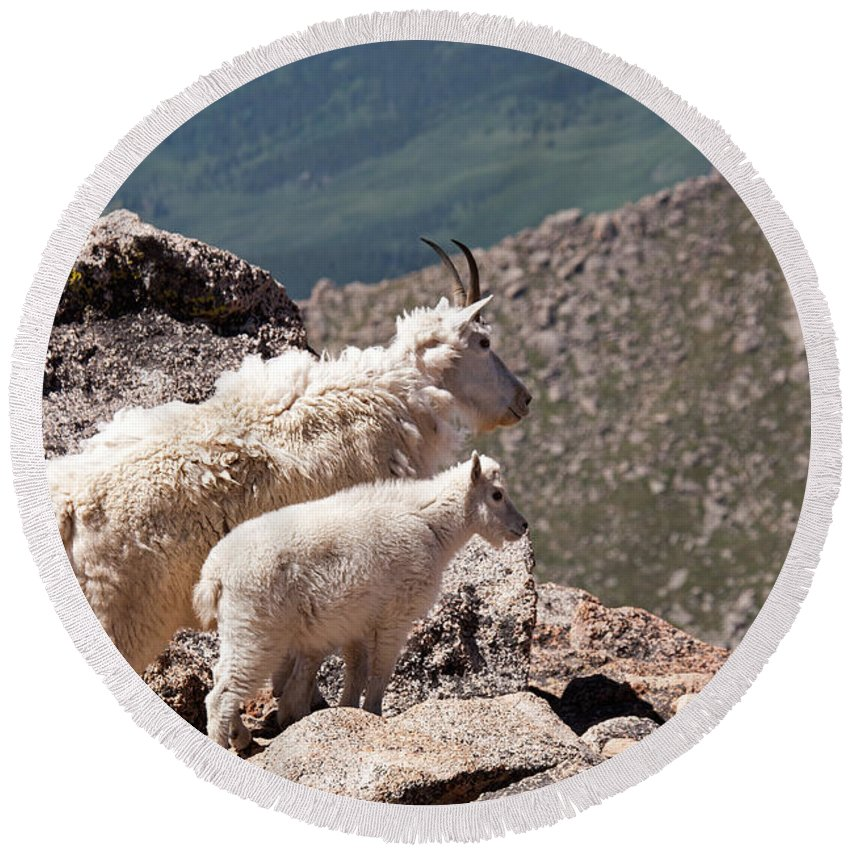 Arapaho National Forest Round Beach Towel featuring the photograph Mountain Goat Nanny And Kid Enloying The View On Mount Evans by Fred Stearns