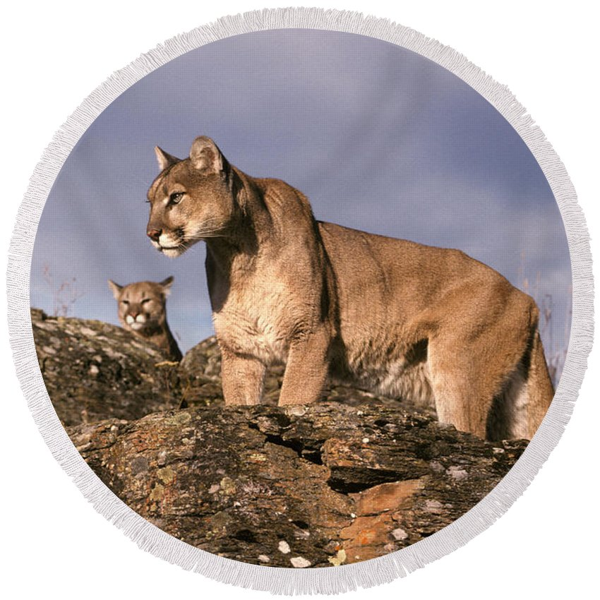 Fauna Round Beach Towel featuring the photograph Mountain Lions Felis Concolor by Ron Sanford