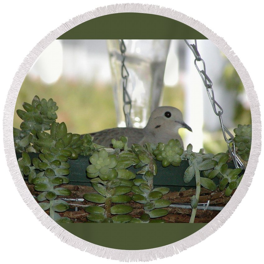 Bird Round Beach Towel featuring the photograph Mourning Dove Nesting by Jussta Jussta