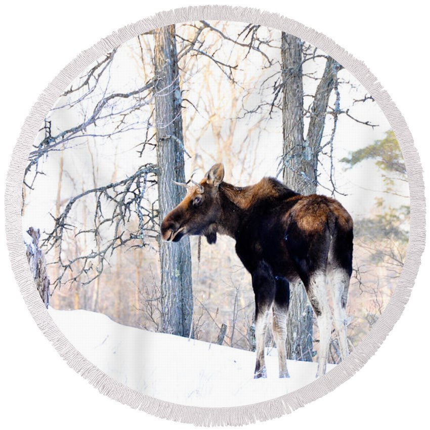 Moose Round Beach Towel featuring the photograph Mr. Moose by Cheryl Baxter
