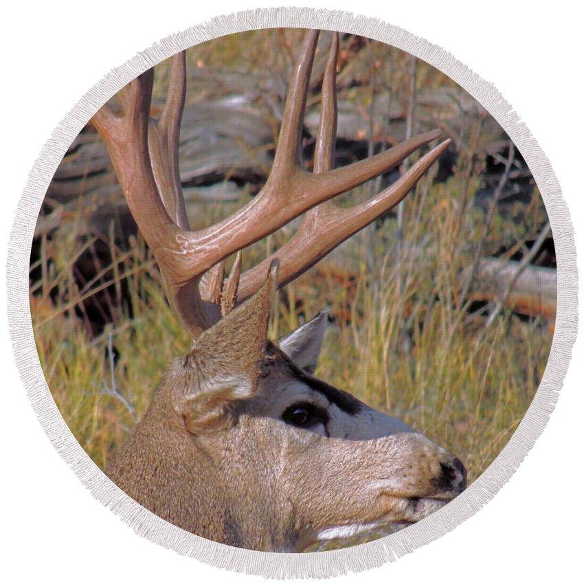 Deer Round Beach Towel featuring the photograph Mule Deer by Lynn Sprowl