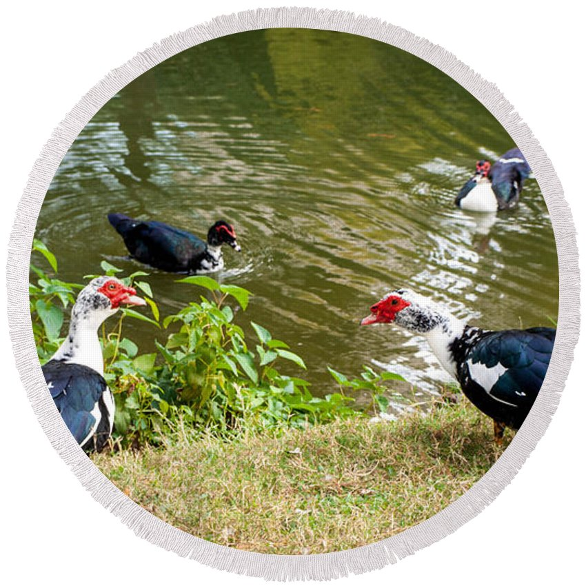 Ducks Round Beach Towel featuring the photograph Muscovy Ducks by Cathy Smith
