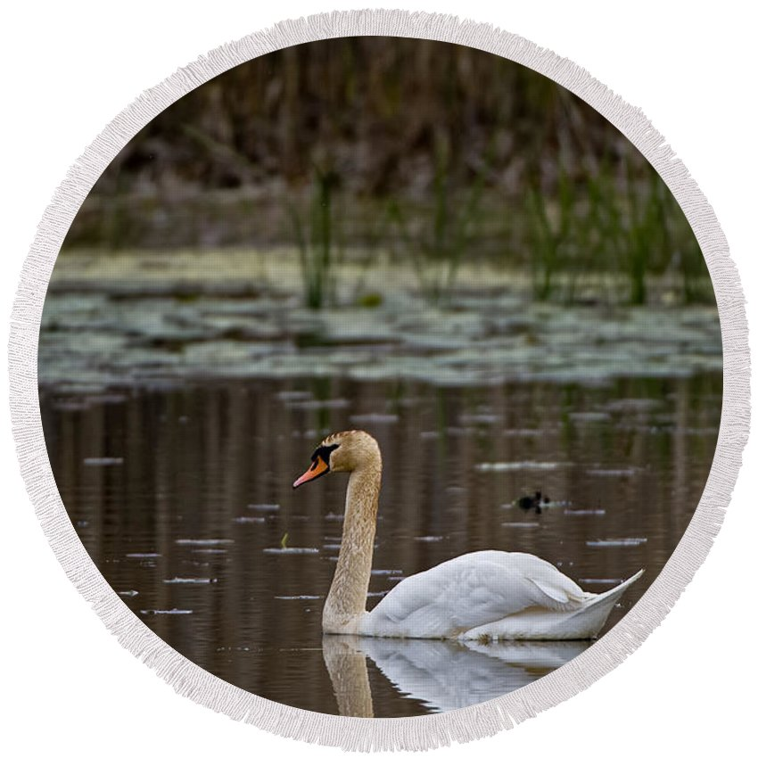Mute Swan Round Beach Towel featuring the photograph Mute Swan Pictures 143 by World Wildlife Photography