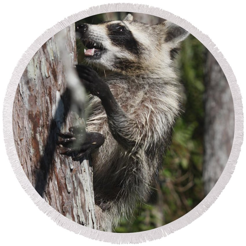 Raccoon Round Beach Towel featuring the photograph Nasty Raccoon In A Tree by Christiane Schulze Art And Photography