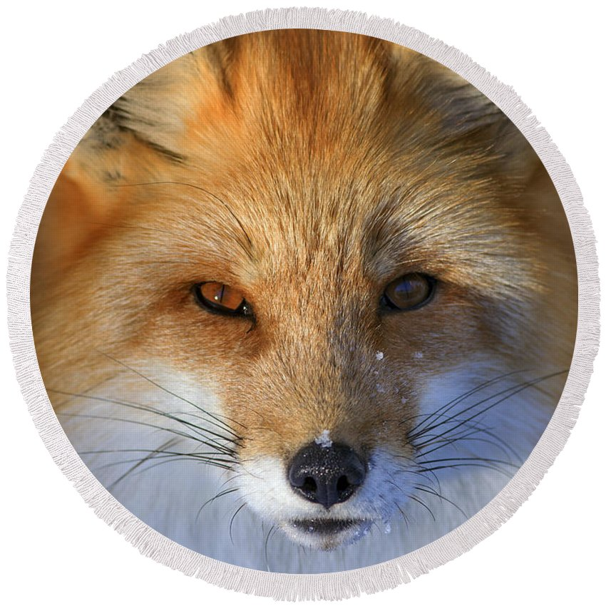 Red Fox Round Beach Towel featuring the photograph Nature's Eyes by Rick Mousseau