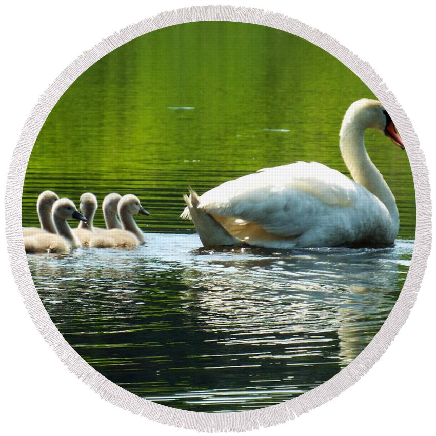 Swan Round Beach Towel featuring the photograph New Mute Swan Family In May by Dianne Cowen
