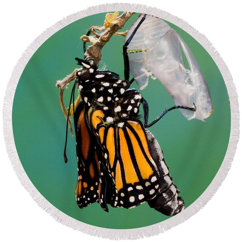 Animal Round Beach Towel featuring the photograph Newly-emerged Monarch Butterfly by Anthony Mercieca