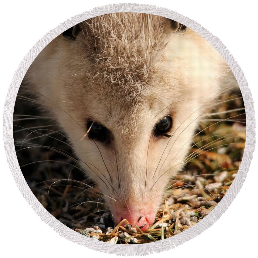 Mccombie Round Beach Towel featuring the photograph North American Opossum In Winter by J McCombie