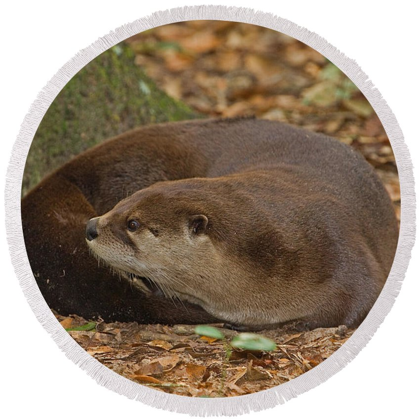 North American River Otter Round Beach Towel featuring the photograph North American River Otter by Millard H. Sharp