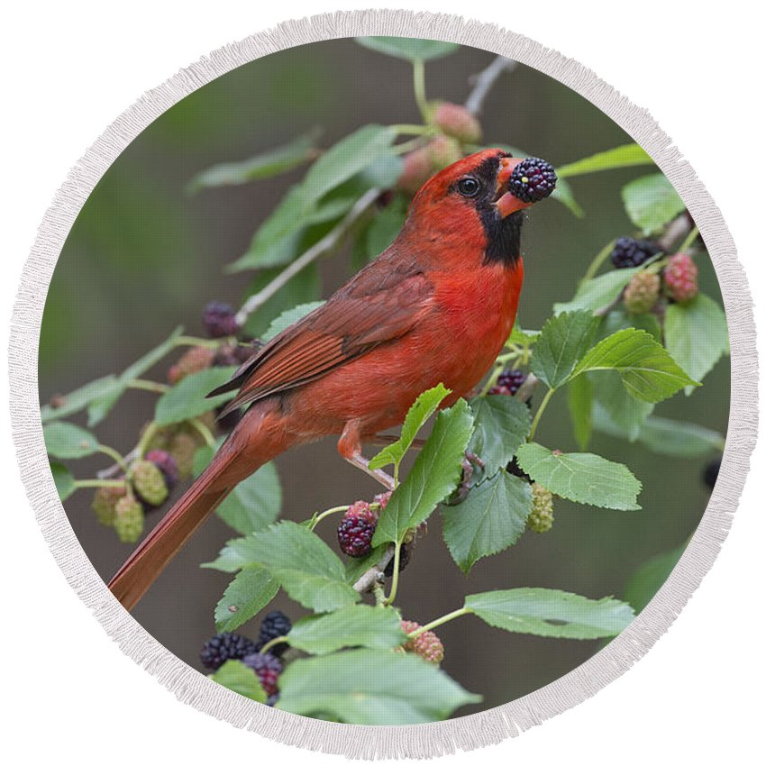 Northern Cardinal Round Beach Towel featuring the photograph Northern Cardinal by Anthony Mercieca