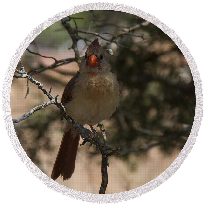 Birds Round Beach Towel featuring the photograph Northern Cardinal by Debby Richards