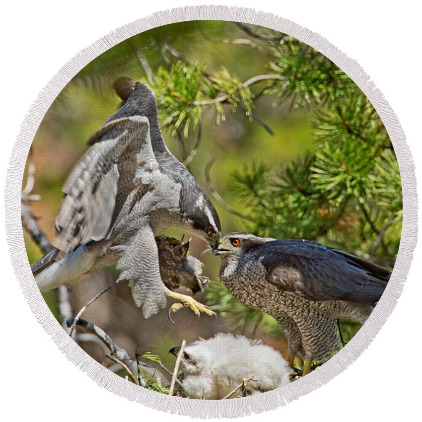 Animal Round Beach Towel featuring the photograph Northern Goshawk Brings Prey To Nest by Anthony Mercieca